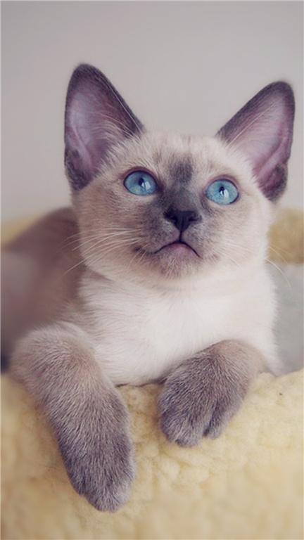 给暹罗猫取高贵的名字 母暹罗猫名字